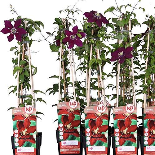 Waldrebe Clematis Niobe 60-80 cm Kletterpflanze