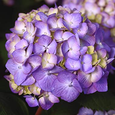 Endless Summer Bloomstruck Hydrangea Shrub 1 Gal. Bloomstruck Hydrangea, 1 Gal