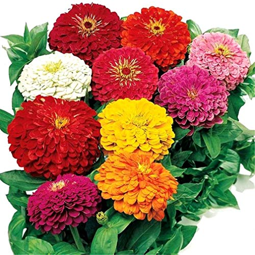 RETS Seeds: Zinnia Mix Farbe Doppel 200 Samen