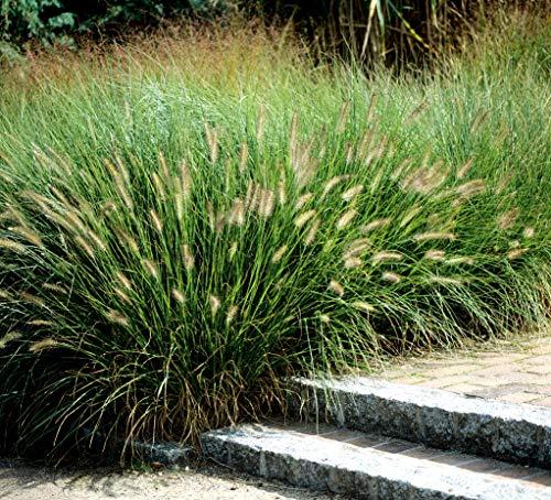 3 x Pennisetum alopecuroides Comperessum 1 Liter (Ziergras/Gräser/Stauden) Lampenputzergras