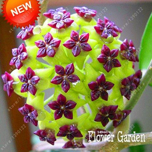 20 PC / bag hoya Samen, hoya Pflanze, Ball Orchideensamen, seltener Bonsai Blumensamen, Natürliches Wachstum Topf für Garten zu Hause 10 Bepflanzung
