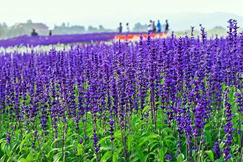 2000 semi, semi di salvia'blu zaffiro' (Salvia farinacea)