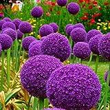 150 graines/paquet 17 couleur Variété Allium Giganteum Graines Belle fleur pour Kid Taux Jardin Décoration Bonsai Graines de fleurs 7
