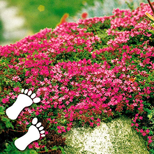 Yukio Samenhaus - Selten Rot Bodendecker Polsterthymian duftend Trittfest Teppiche Sand-Thymian Blumensamen winterhart mehrjährig Begrünung, als Rasenersatz Unterpflanzung von Rosen