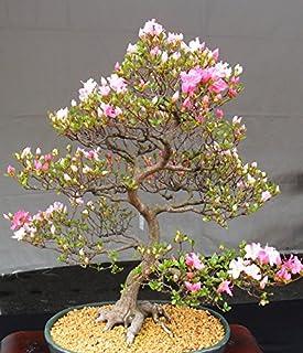 comprar comparacion 10 Semillas de floración de cerezo japonés Bonsai, exótico Sakura Semillas Bonsai raras