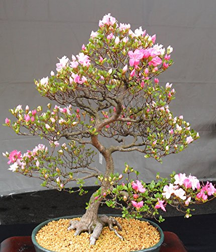 10 Japanische blühende Kirschblüten-Bonsai Samen, exotische und seltene Sakura Bonsai Samen