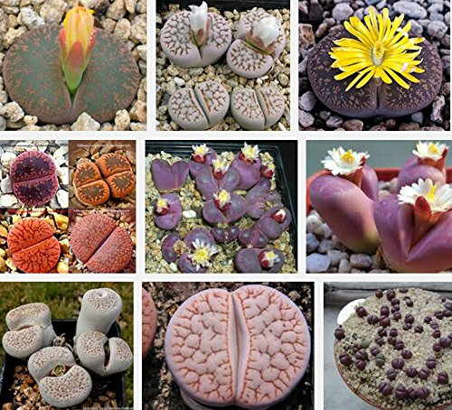 Semillas De Flores 100lithops Seed Pseudotruncatella Succulentes Raw Pierre Cactus Seeds Tiges Tetragonia Potted Flowers Charnu