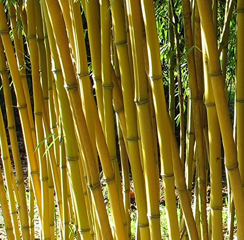 Phyllostachys aureosulcata 'Aureocaulis' - Goldener Peking Bambus - verschiedene Größen (200+cm - 15ltr. - 5-10 Triebe)
