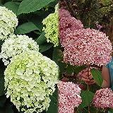 アジサイ:アナベル2種セット(白花・ピンク花)[人気のアジサイ]
