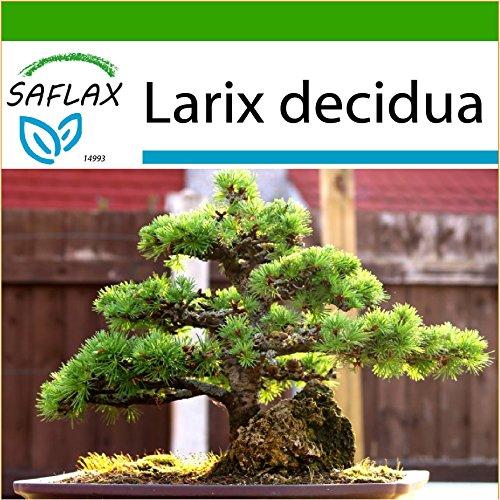 SAFLAX - Bonsai - Europäische Lärche - 75 Samen - Mit keimfreiem Anzuchtsubstrat - Larix decidua
