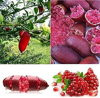Rosepoem Finger Limes Semillas de cítricos para jardín