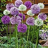 12x Allium caeruleum'Fantasia'   12er Mix Zierlauch   Zierlauch Zwiebel winterhart   Allium Zwiebeln Ø 10-12 cm