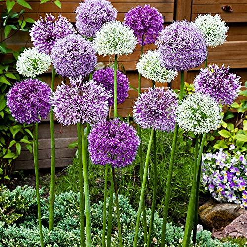 "12x Allium caeruleum""Fantasia"" | 12er Mix Zierlauch | Zierlauch Zwiebel winterhart | Allium Zwiebeln Ø 10-12 cm"