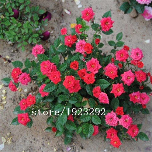 100pcs / lot, Rare Étonnamment Belle 2 Colored Rouge Jaune Rose Fleur Graine.
