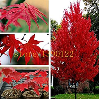 20 pcs american red maple seeds tree seeds maple for home GARDEN planting easy grow very rare tree seeds