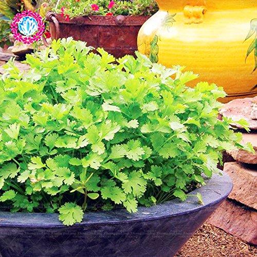 Graines Coriandre Herb 50pcs vert Healthiy herbes à rendement élevé Fructueux Jardin potager Bonsai alimentation végétale plante sain en plein air