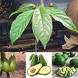 Semillas de aguacate para plantas, 10 semillas de...