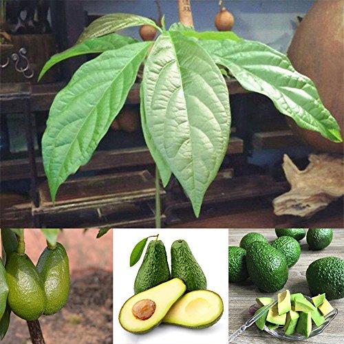 Zhouba Avocadosamen für Gartenpflanze, 10 Stück Avocadosamen Grüne Früchte Persea Americana Home Garden Pflanze einfach zu züchten