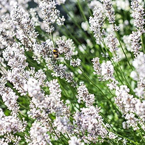 300Pcs Lavendel Samen Mehrjährige...