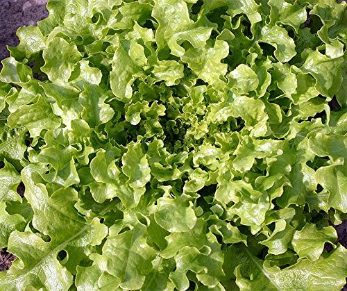 Bobby-Seeds BIO-Salatsamen Green Salad Bowl Pflücksalat Portion