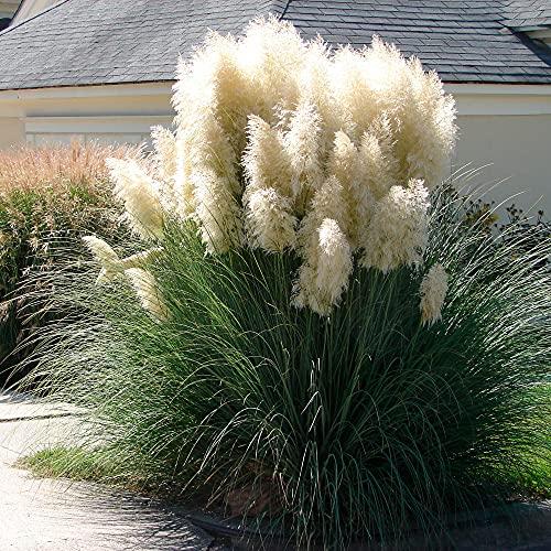 Bakker -  Cortaderia selloana