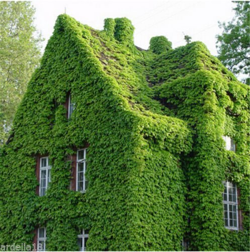 ESCALADE VRAC graines VIGNE Woodbine Grape Boston Ivy Creeper Seeds jardin usine de décoration japonaise 40pcs W98