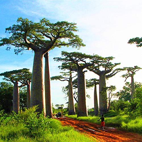 TENGGO Egrow 5Pcs/Bolsa Adansonia Digitata Baobab Tree Semillas Raro Baobab Semillas Tropical Planta Jardín Semillas