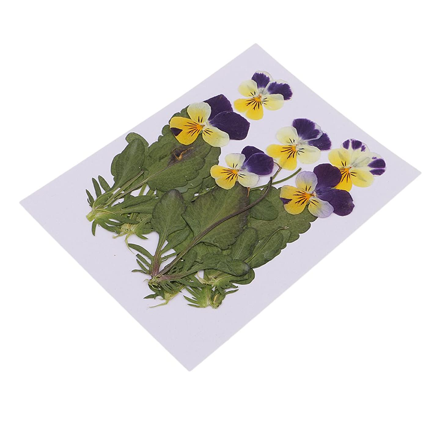 Homyl 6 Pieces Beautiful Real Pressed Pansy Flower Dried Flowers Leaves for Art Craft Scrapbooking Resin Jewelry Making Phone Case Decorating DIY Materials