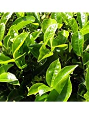 Tea Plant Seeds (Camellia sinensis) 3+ Organic Heirloom Seeds