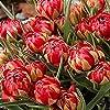 """原種系チューリップ""""サマンサ""""4球【品種で選べる花球根/4球入り1袋】学名:Tulipa l./ユリ科チューリップ属●1球から複数の花が咲く、八重咲の背丈が低めのチューリップ品種。原種系なので植えっぱなしで翌年も咲く可能性が高い品種です。開花後半は花全体が赤色に発色します。【※出荷タイミングにより、球根の大きさは多少大きくなったり小さくなったりしますが、生育に問題が無い球根を選んで出荷します。ご了承下さい】"""