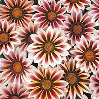 Gazania Daybreak Series Red Stripe Annual Seeds