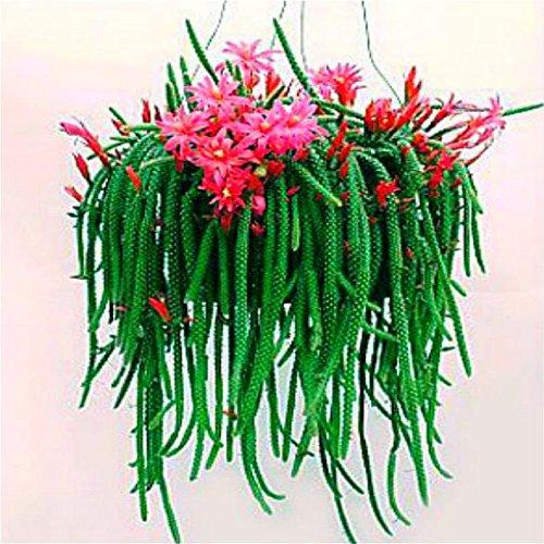 Green Seeds Co. Rare Beauty Succulents bonsai 100pcs Fácil de cultivar en maceta de flores Sedum Morganianum Bonsai bonsai Home & amp; Planta ornamental de jardín: rojo