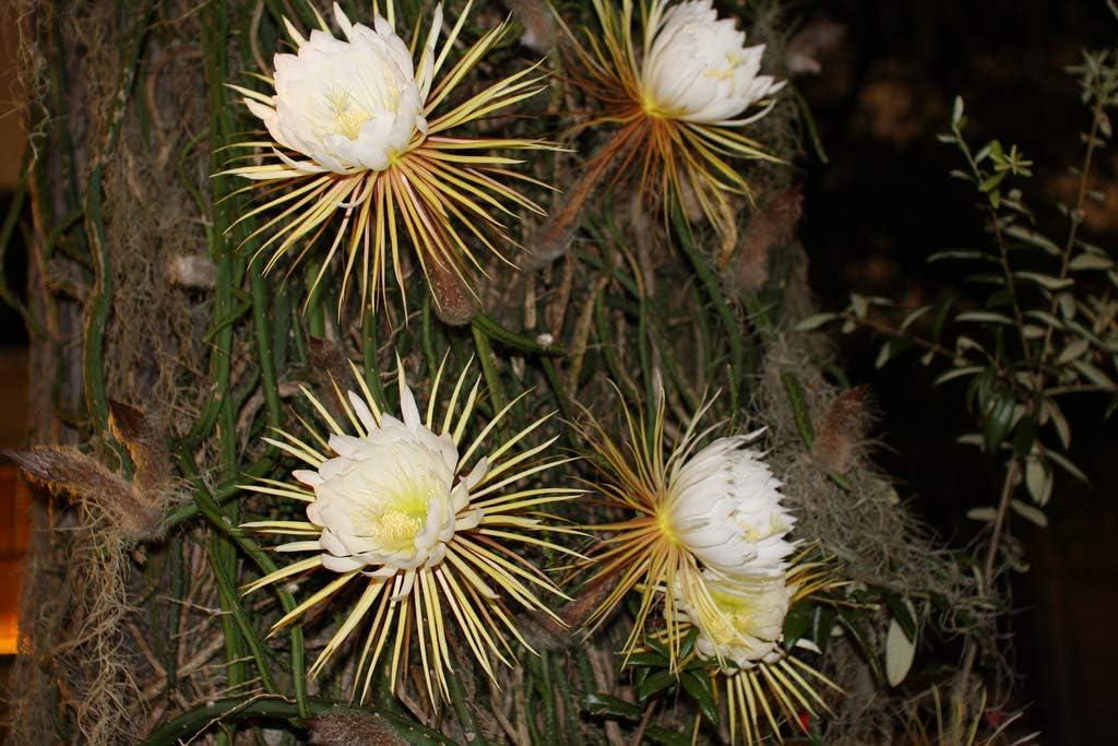 好評 Selenicereus grandiflorus Queen of Seeds Night 500 The 現金特価