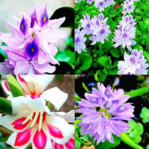 ScoutSeed 50 Stücke: Aquarium Dekoration Wasser Gras Pflanze Wasserhyazinthe Samen C1MY