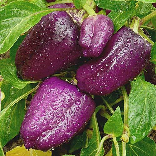 Samen für ca. 20 Pflanzen Oda Paprika - außergewöhnliche Fruchtfarbe