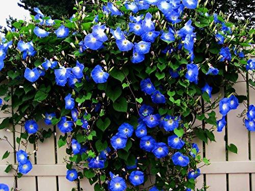 Blue Morning Glory Climbing Vine   100 Seeds to Plant   Beautiful Flowering Vine
