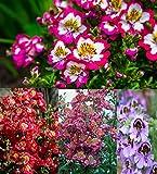 Bauern-Orchidee, Spaltblume 200 Samen, (Schizanthus),schmetterlingsblume
