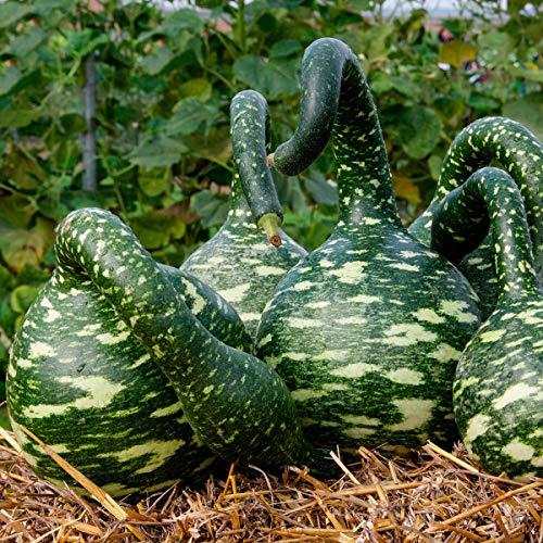 Qulista Samenhaus - Rarität Flaschenkürbis Mischung Kalebassen Kürbissamen | Zierkürbisse Gemüsesamen Mischung winterhart mehrjährig
