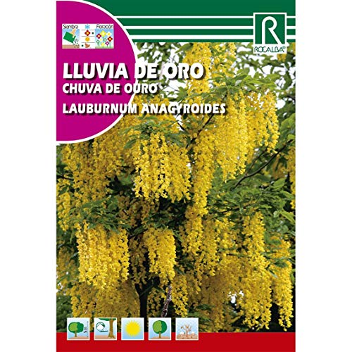Semilla de lluvia de oro (laburnum anagyroides) - Rocalba