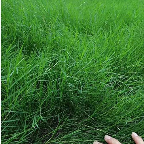 XINDUO Semillas de Flores perennes,Planta de protección en Pendiente Bermudagrass césped Semillas-0.5kg,Plantas Coloridas Semillas