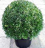 Buchsbaum Kugel, Durchmesser: 50 cm, Buxus + Dünger