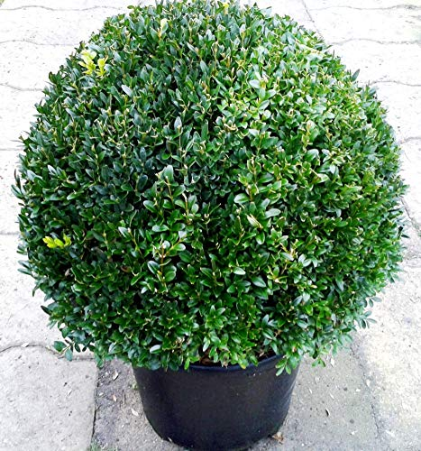 Buchsbaum Kugel, Buxus sempervirens, Durchmesser: 50 cm + Dünger