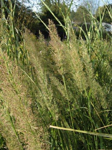 Staudenkulturen Wauschkuhn Calamagrostis...