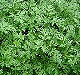 Pinkdose Nuevo Hogar Jardín Planta 100 Artemisia annua - Un año de artemisa envío gratuito