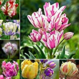 KEPTEI Garten Seltene Tulpen ziertulpen Blumen Samen Bunte Tulpen Samen- 100 Samen/Pack - mehrjährig
