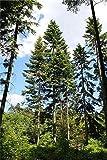 Riesen-Küsten-Tanne 30 frische Samen **Der Tannengigant** Winterhart