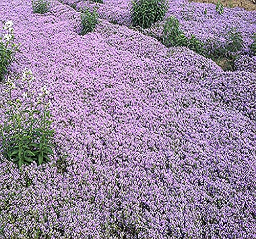 Big Pack Landscape Seeds – Dwarf Creeping Thyme Herb Seeds – Thymus Serpyllum – ONLY 4-6 Inches Tall by MySeeds.Co (Big Pack Dwarf Creeping Thyme)