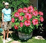 Riesige Hibiskus Blumensamen Pflanzen Home Topf Okra Bonsai Seltener Garten, 100 Stück 12 Arten Hibiskus Samen, Einfach zu züchten