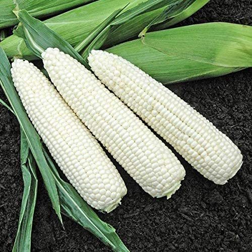 VietFA Corn Sẹẹds for Plạnting Sweet Ranking integrated 1st place It is very popular 100 - White