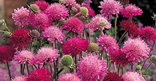 HIGH Germination Seeds:All Three Listed : Knautia Melton Pastels - HP